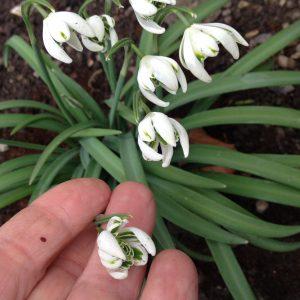 Vintergækker med dobbelte kronblade